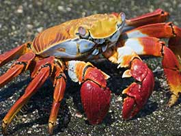 thumb colorful sally lightfoot crab on a dark sand beach at the galapagos islands