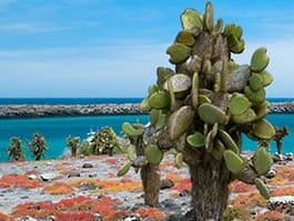 large opuntia cactus and red lichen at sant fe galapagos