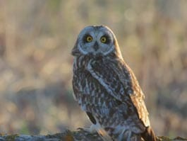 thumb short eared Galapagos owl poses with large orange eyes