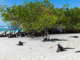 black marine iguanas on the white sand of tortuga bay beach santa cruz galapagos