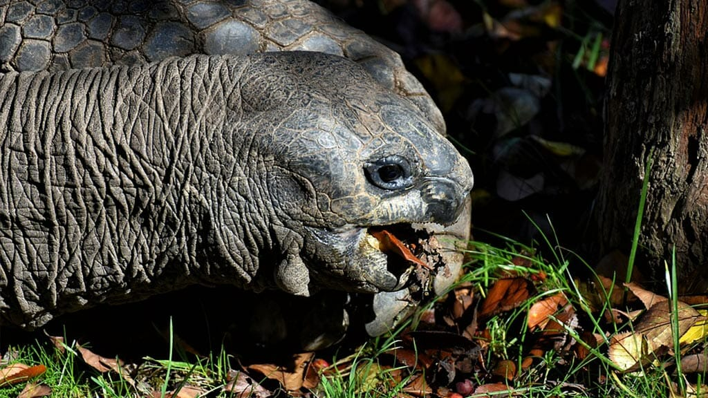 closeup of galapagos tortoise neck and face while eating leaves and grass