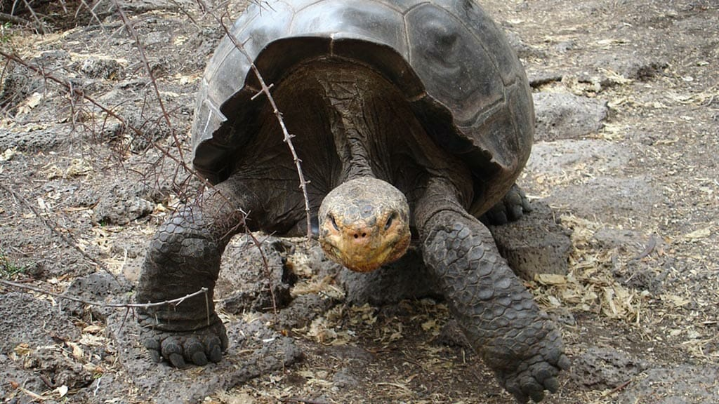 galapagos tortoise walking slowly with dome shaped shell