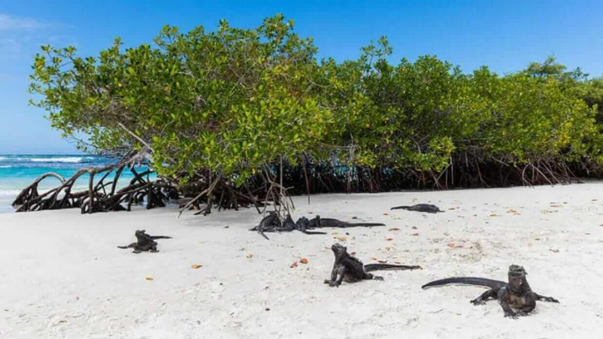 black marine iguanas on the white sand of tortuga bay beach santa cruz galapagos