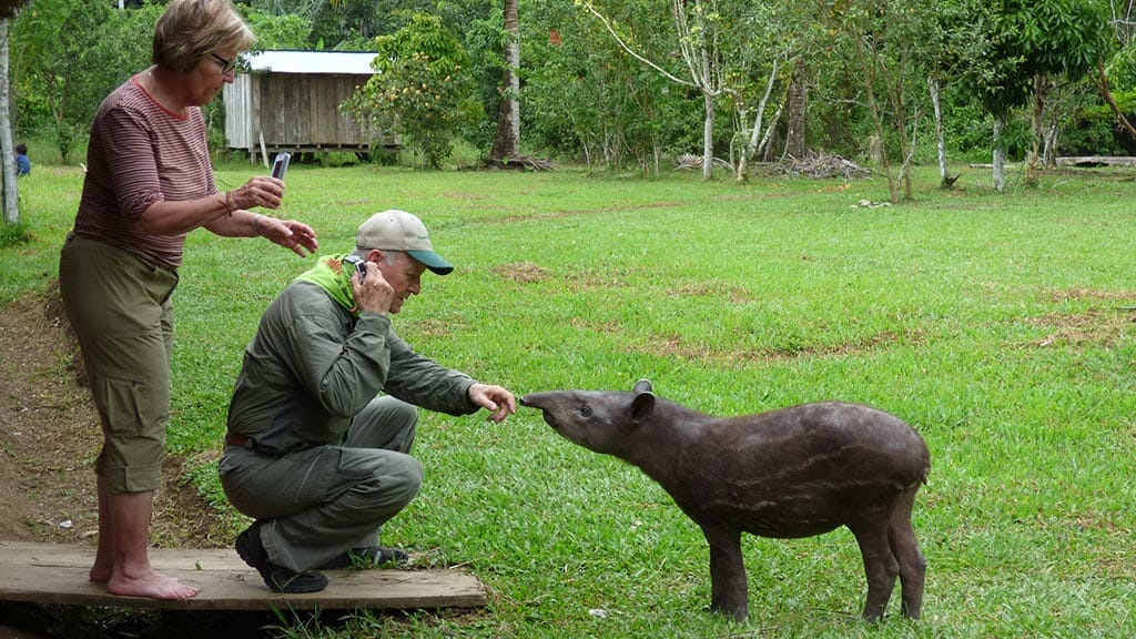 tourist with a tapir in the amazon rainforest