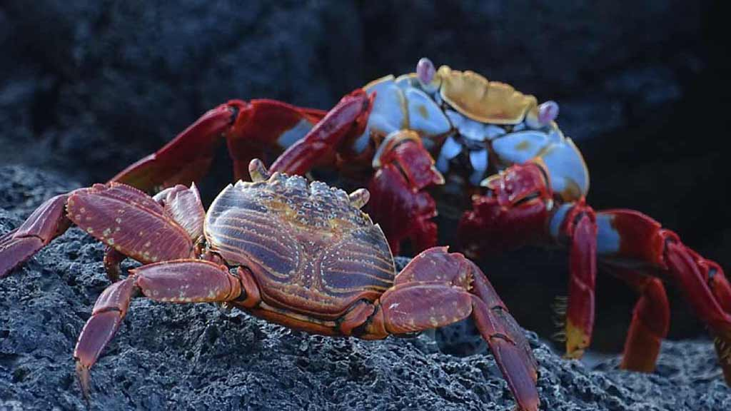 A colorful adult Galapagos sally lightfoot crab together with a smaller and darker juvenile crab