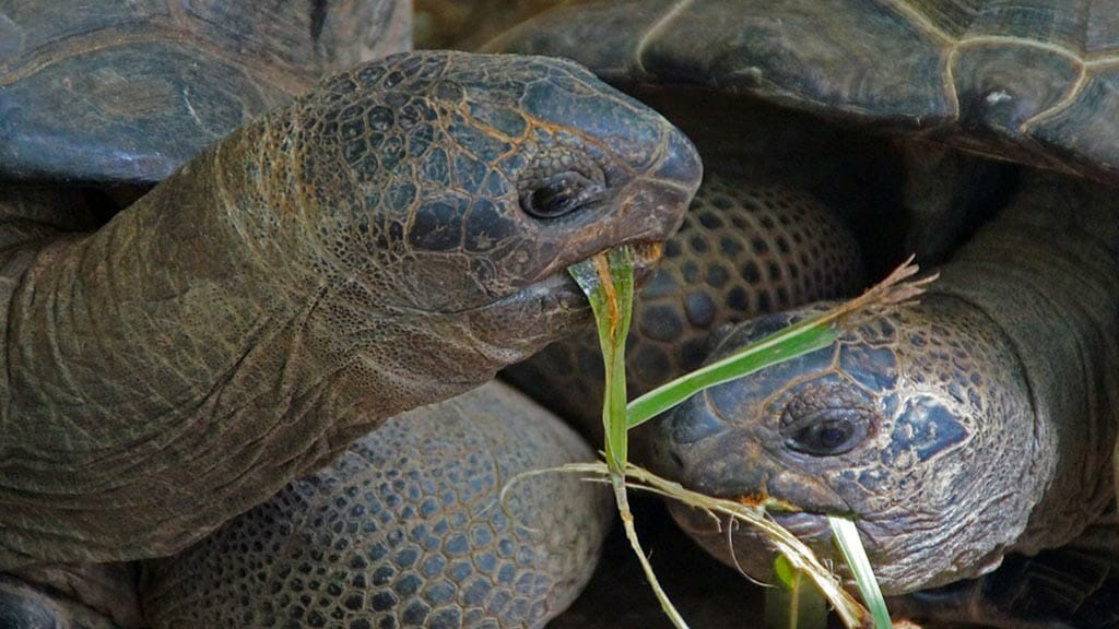 two giant galapagos tortoises together eating grass