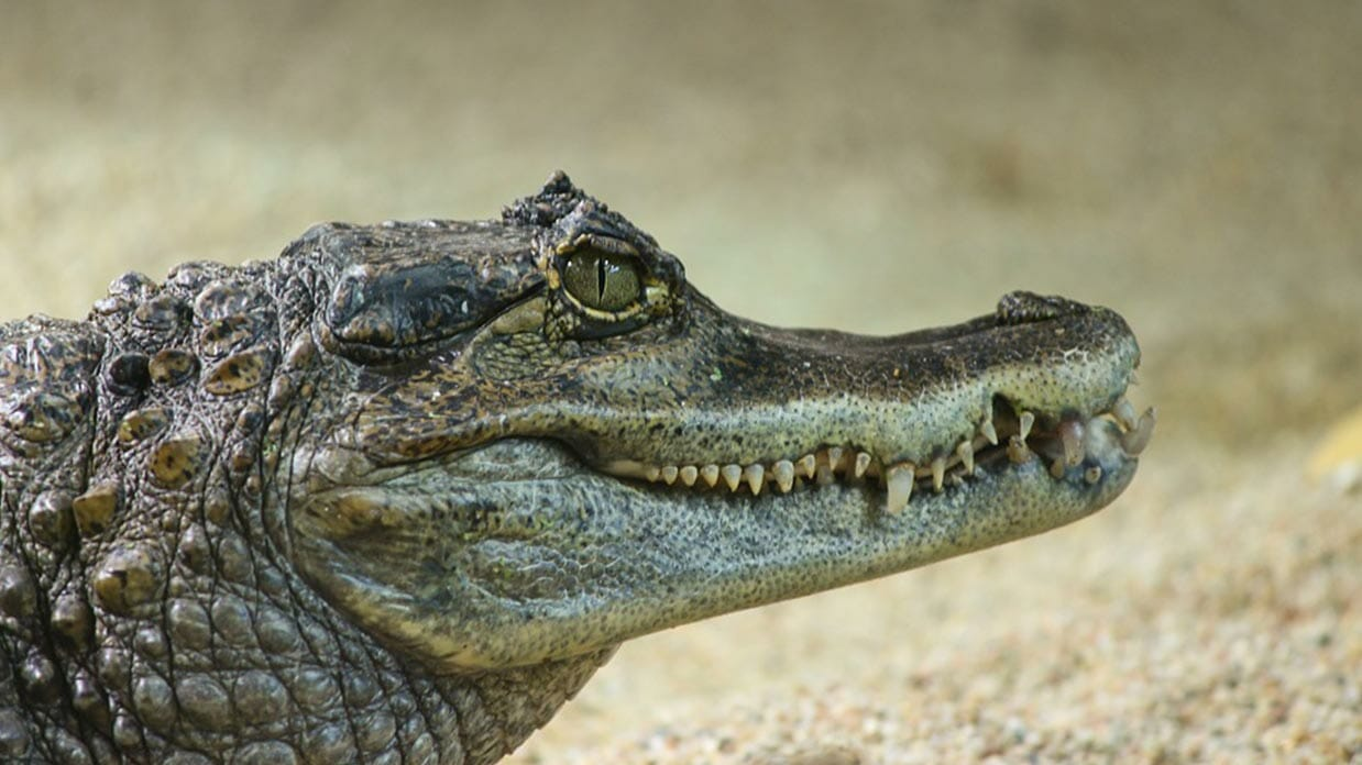 caiman alligator with sharp teeth ecuador amazon