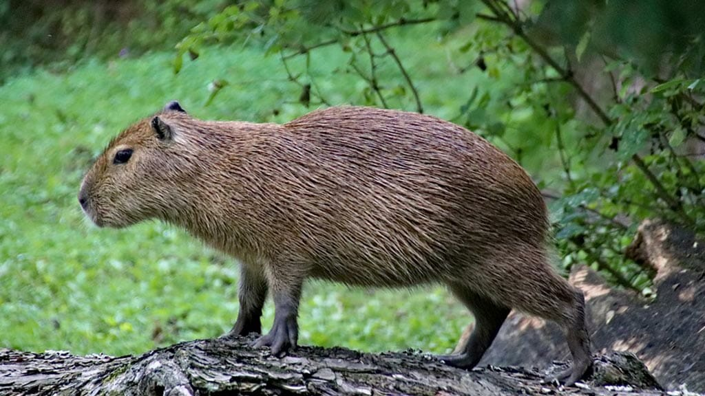 a large capybara rodent in ecuador's amazon rainforest