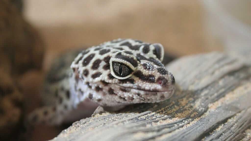 gecko in ecuador