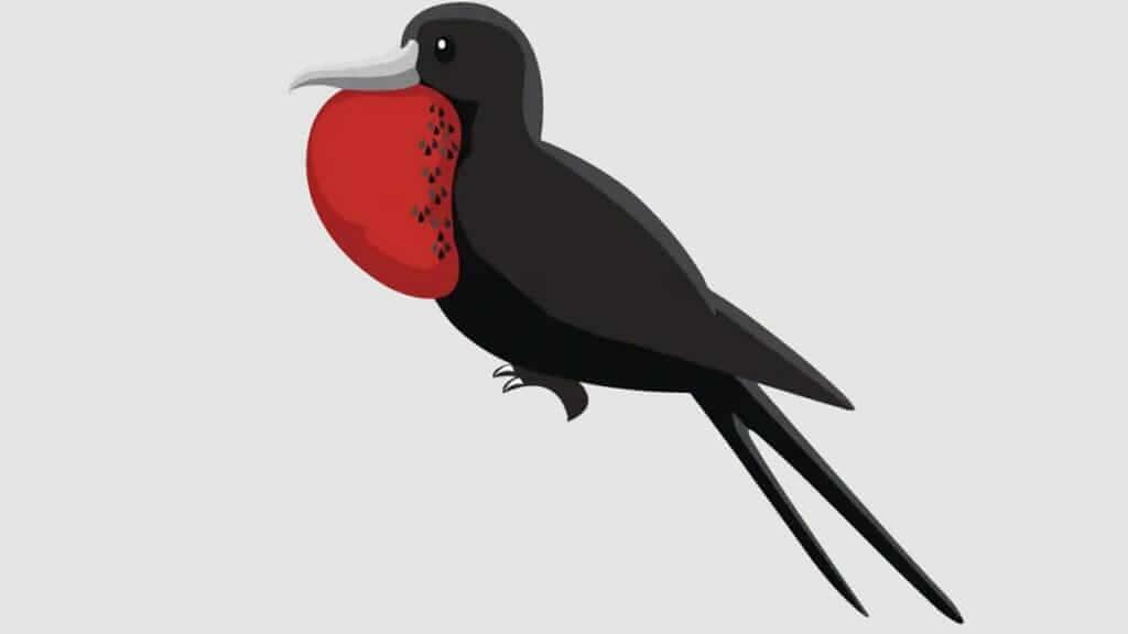 happy gringo galapagos cartoon frigate bird