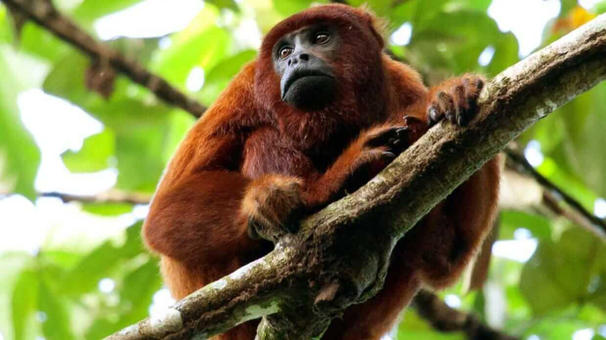 ecuador red howler monkey in a tree