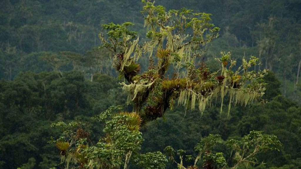 tree with moss at río negro sopladora national park ecuador