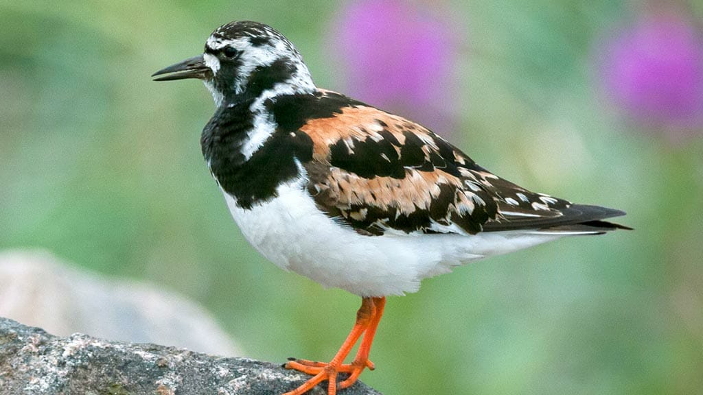 a ruddy turnstone standing on a rock