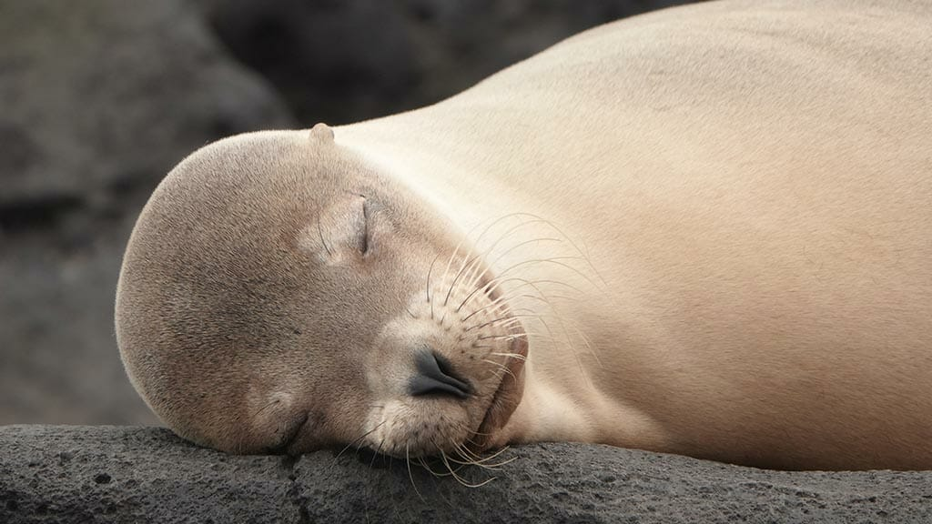 blonde galapagos sea lion asleep on black lava rocks