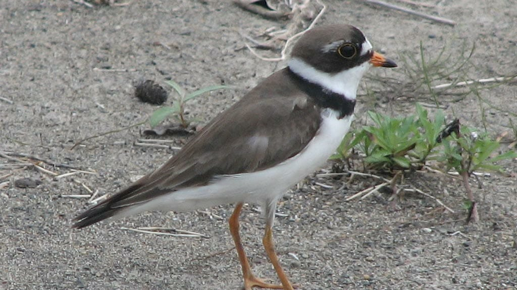 semipalmated-plover