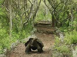 giant galapagos tortoise walking alone in the scalesia forest san cristobal galapaguera