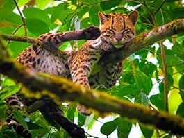 ocelot sleeping in a tree in ecuador's amazon