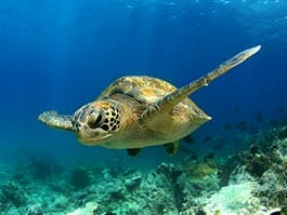 galapagos green sea turtle swimming gracefully in clear blue water