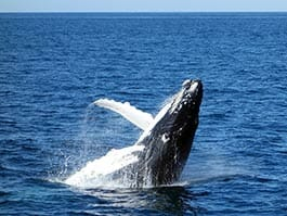 ecuador whale watching season - a humpback whale breaches the ocean