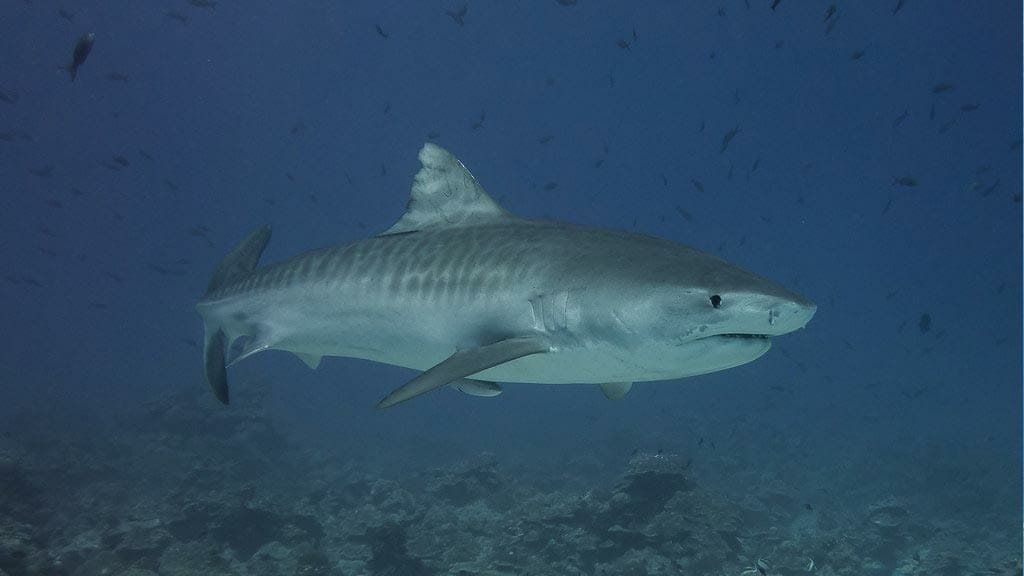 galapagos tiger shark swimming with a school of small fish