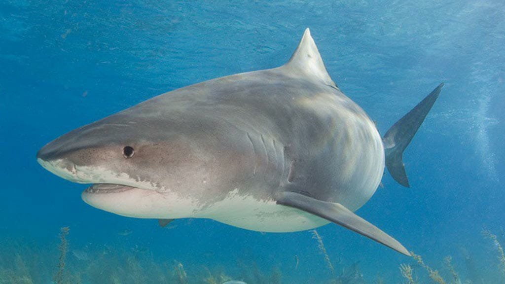tiger sharks occasionally visit galapagos islands waters