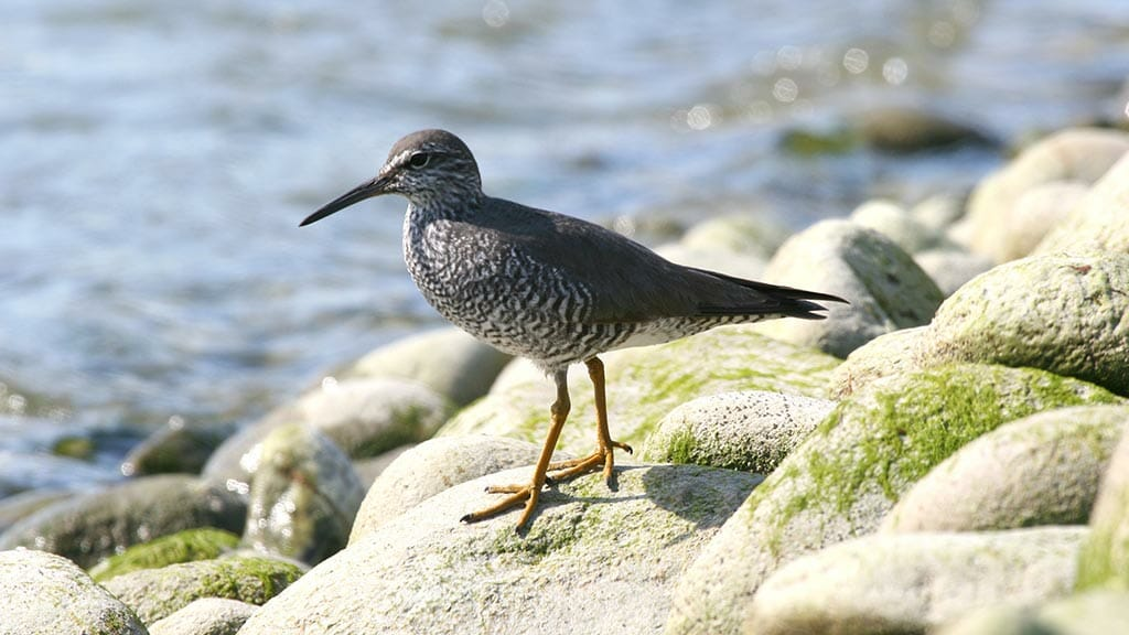 a wandering tattler on the shore at the galapagos islands