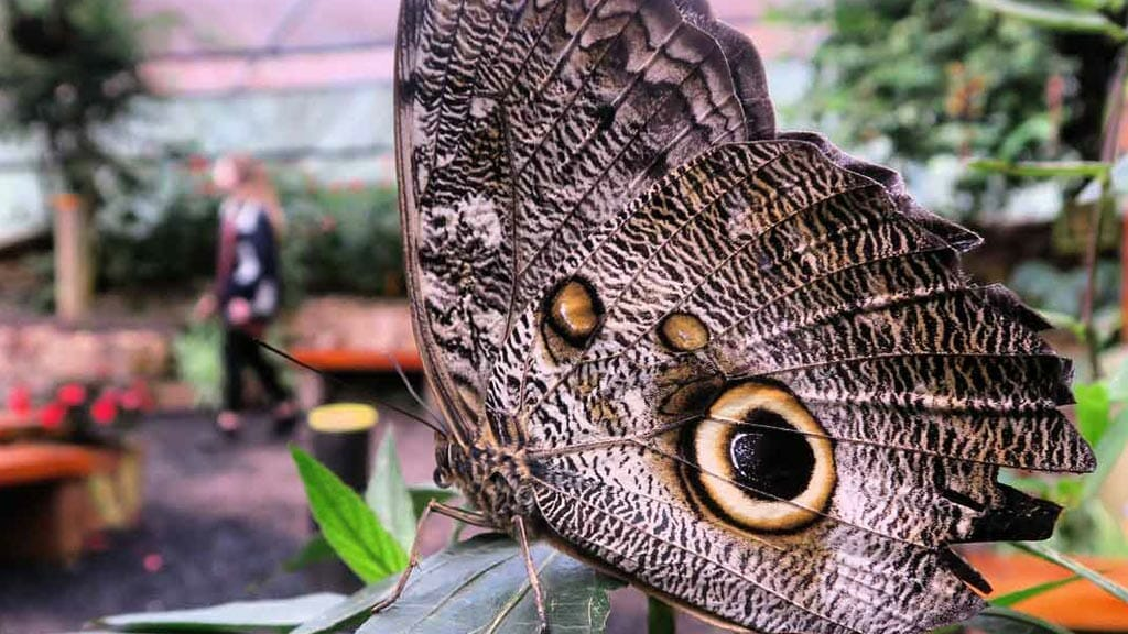 owls eye butterfly at the mashpi lodge butterfly farm
