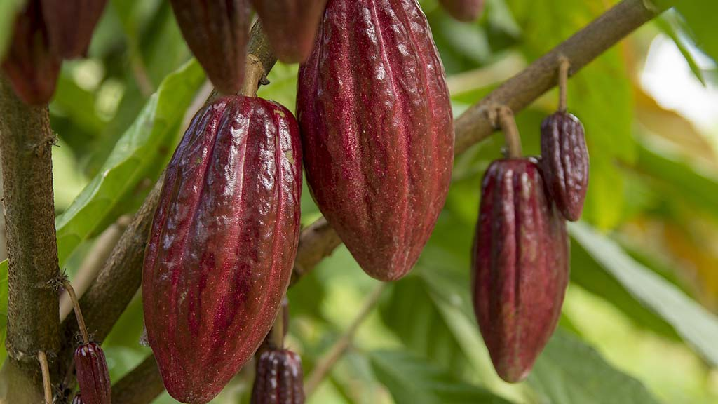 red cacao plant fruits hanging from tree in ecuador