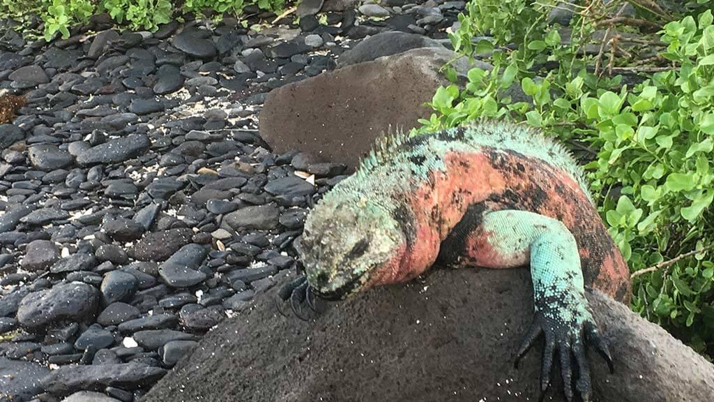 galapagos christmas iguana on espanola island