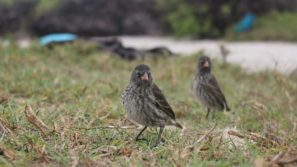 darwins-finch-galapagos-islands