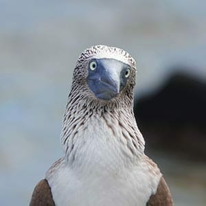 dummies-guide-blue-footed-booby