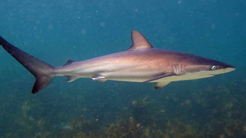 a dusky shark at the galapagos islands