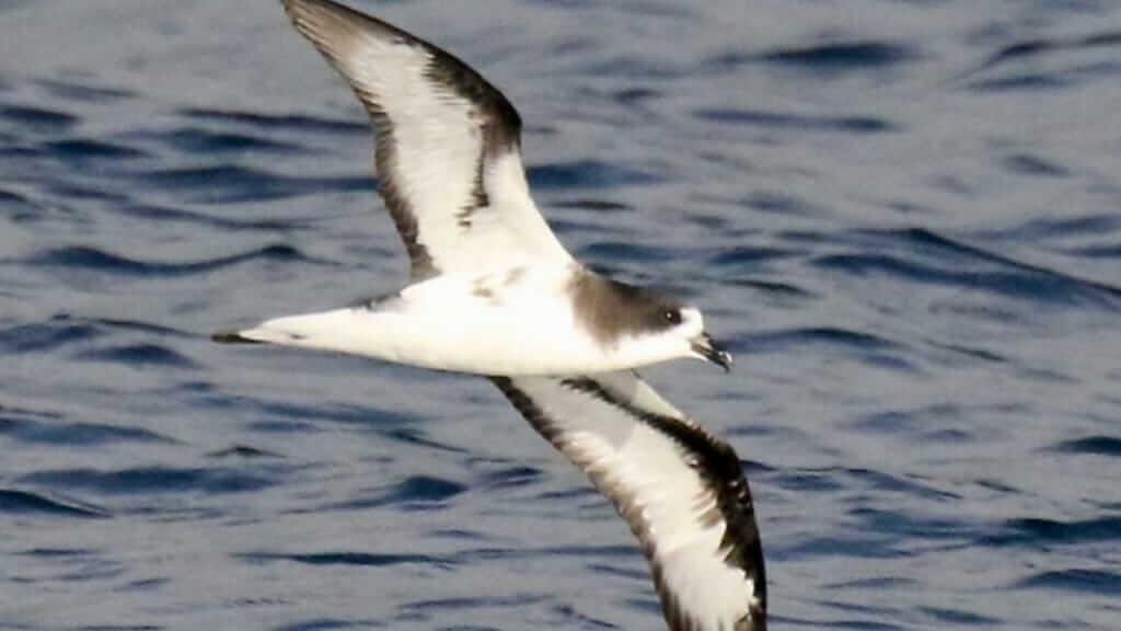 galapagos-islands-petrel-bird