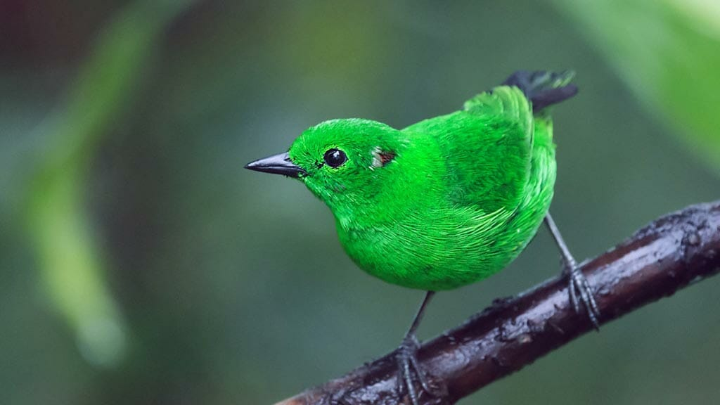 glistening green tanager on a branch ecuador cloud forest