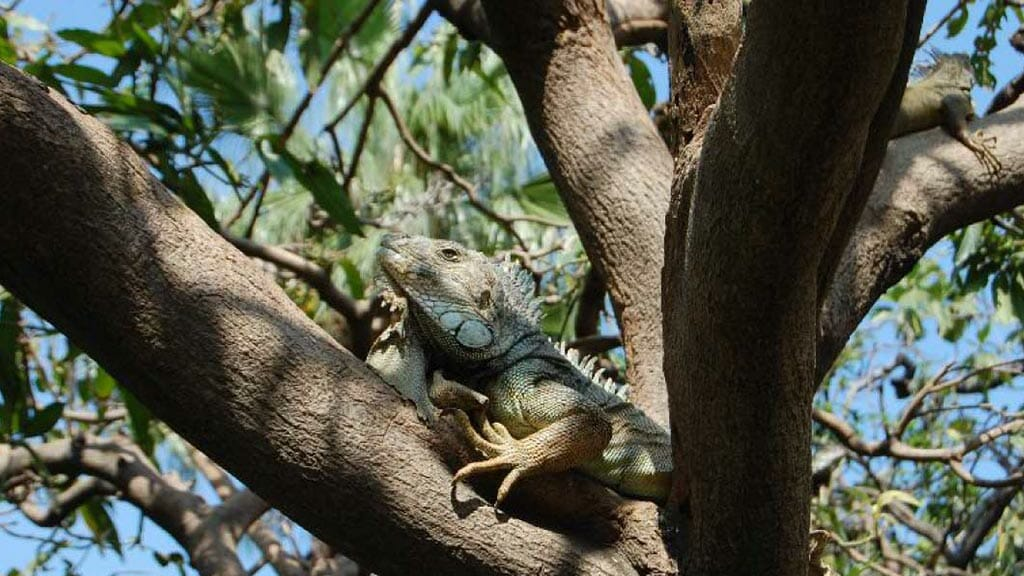 iguana in a tree at the iguana park guayaquil
