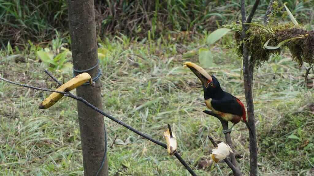 mashpi lodge early morning birdwatching of toucans