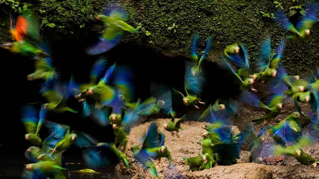 blue and green parrots in flights at yasuni parrot clay lick ecuador