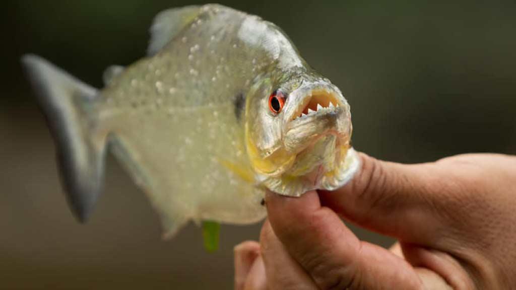 a guide holding a piranha fish with sharp teeth in ecuadorian jungle