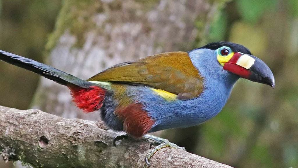 ecuador cloud forest - platebilled mountain toucan