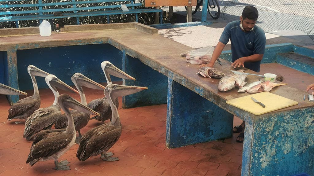 pelicans at puerto ayora fish market