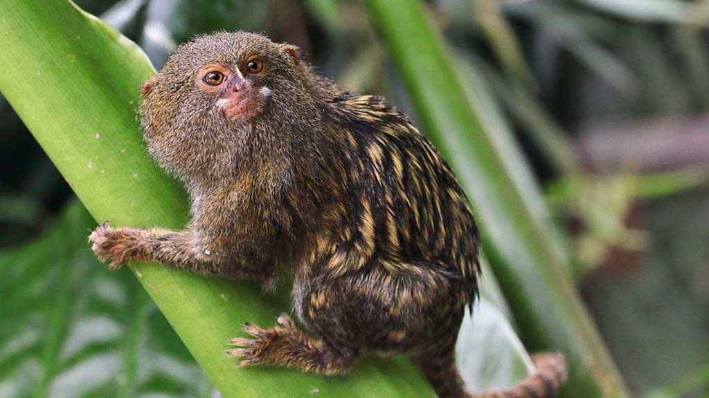 pygmy marmoset clinging to branch in ecuador