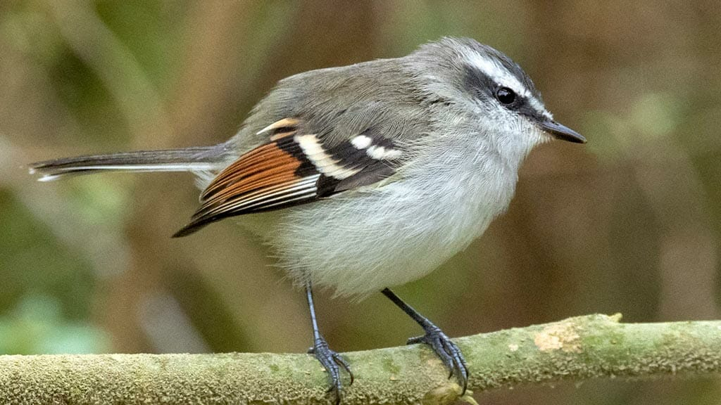ecuador cloud forest - rufous winged tyrannulet