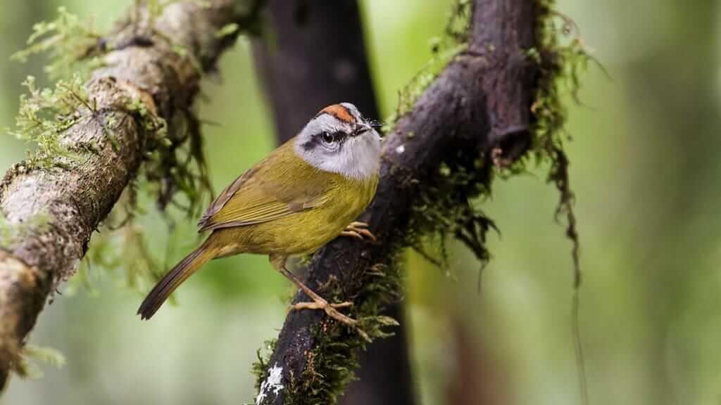 ecuador cloud forest - russet crowned warbler bird on a branch