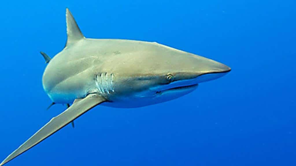 a silky shark in the galapagos ocean