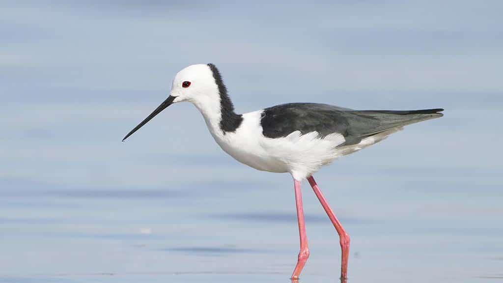 stilts-bird