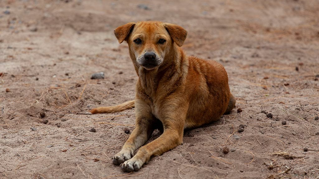invasive species - a stray dog at the galapagos islands