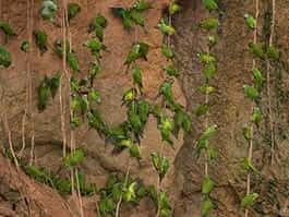 ecuador amazon parrot clay lick popular with green parrots