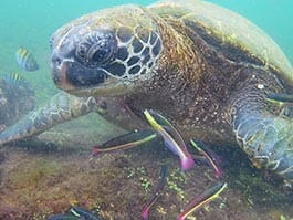 galapagos green sea turtle with colorful fish