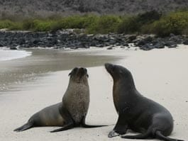 two galapagos sealions on a white sand beach