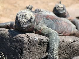 galapagos islands evolution - a marine iguana lies flat on a lava rock